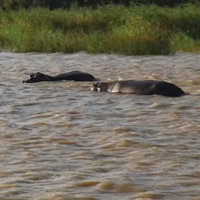 HIPPOS IN ST LUCIA