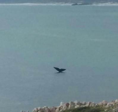 whale in gansbaai